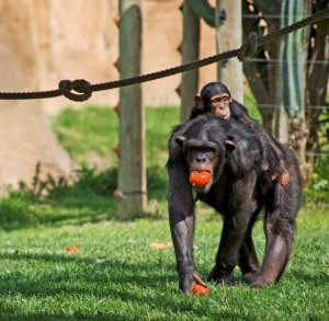 Animal-Common_chimpanzee-Hominidae-Lisbon_Zoo_small